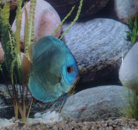 Diskus Blue Diamond I - fishbox