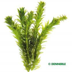 Egeria densa Special, ´Dense Waterweed` - fishbox