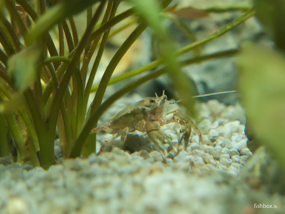 Aegla platensis 2-3cm - fishbox