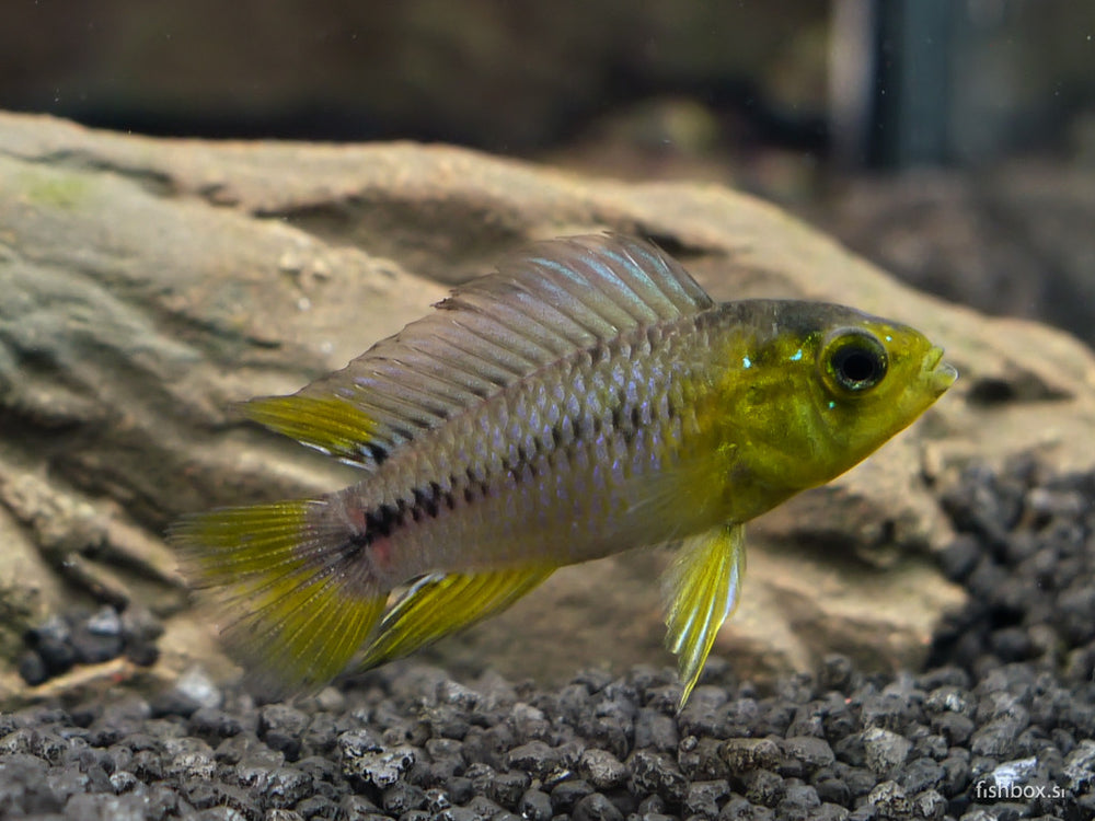 Apistogramma borelli - fishbox