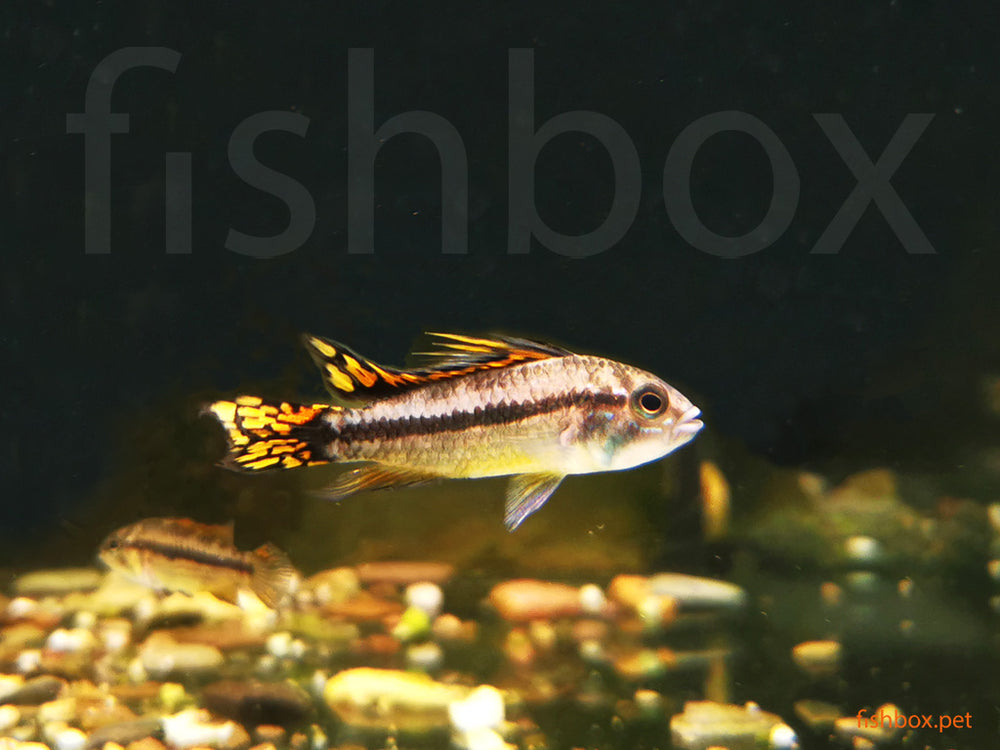 Apistogramma cacatuoides Double Red - fishbox