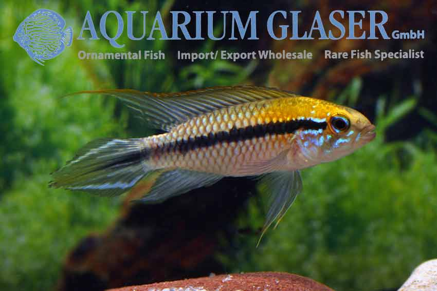 Apistogramma gephyra wild - fishbox