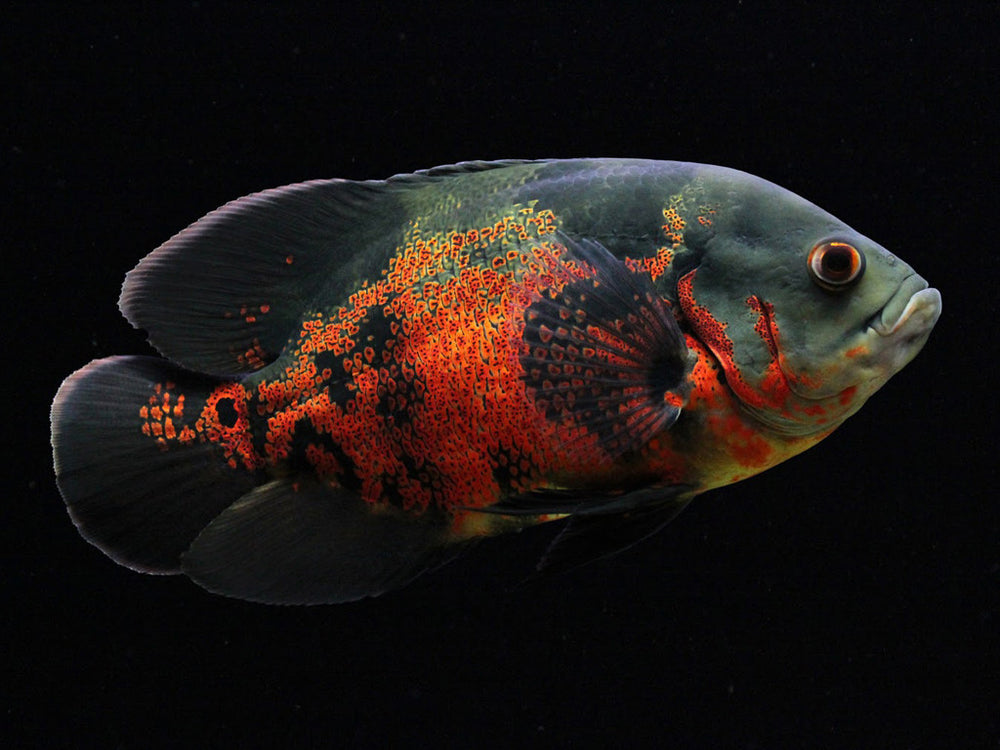 Astronotus ocellatus - fishbox