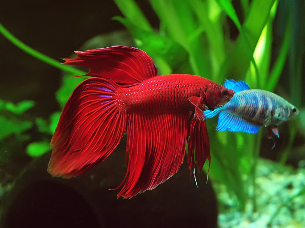 Betta splendens samec - fishbox