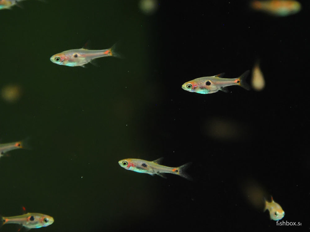Boraras maculatus - fishbox