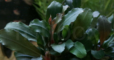 Bucephalandra spec. ´Wavy Leaf´ In-Vitro - fishbox
