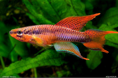 Chromaphyosemion bitaeniatum ''Lagos red'' - fishbox
