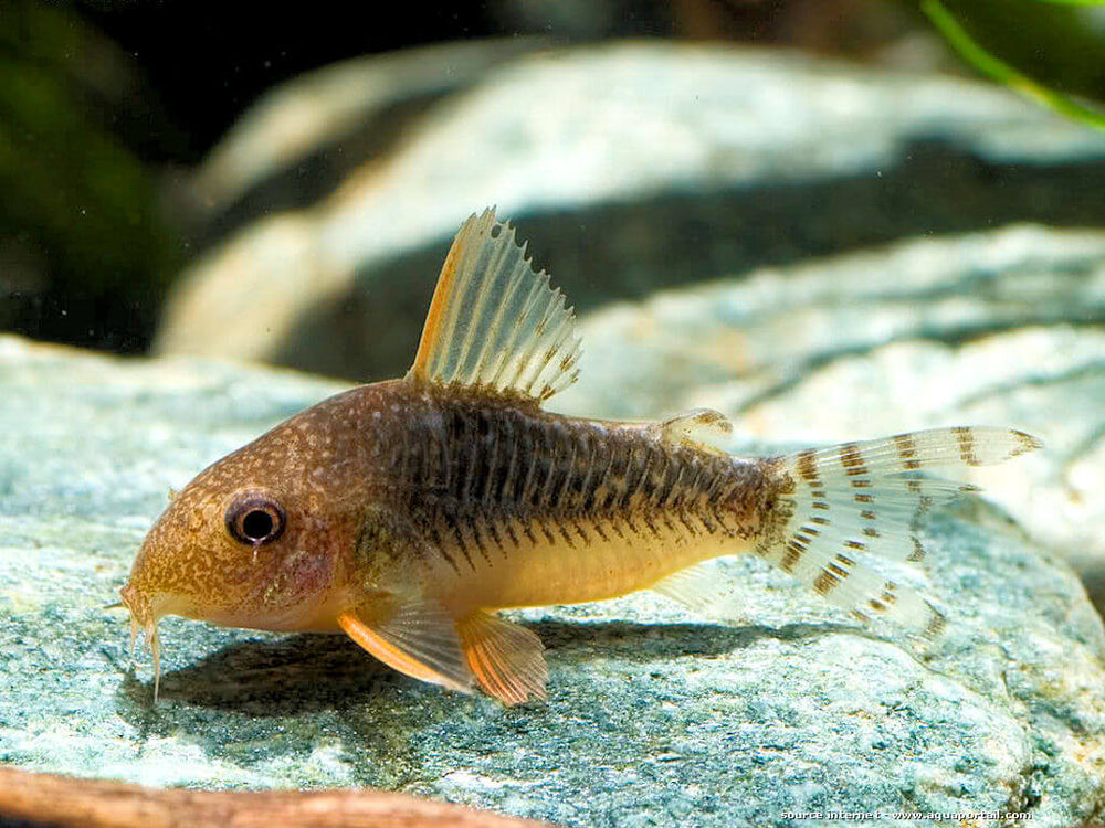 Corydoras gossei - fishbox