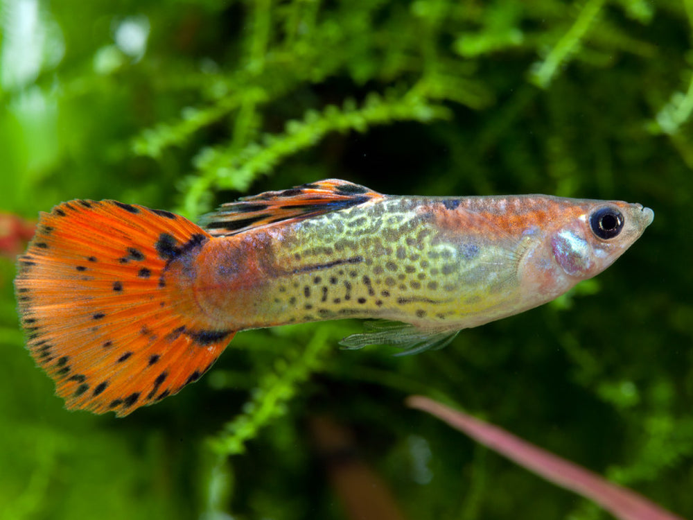 Guppy male MIXED COLOUR lg - fishbox