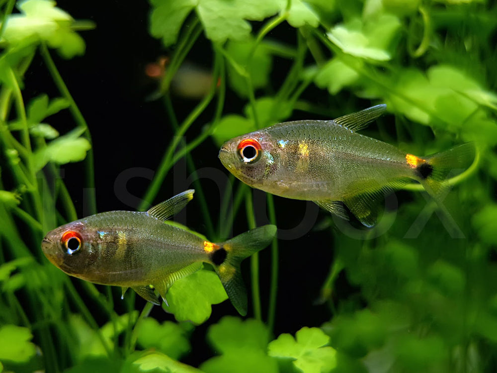 Hemigrammus ocellifer - fishbox