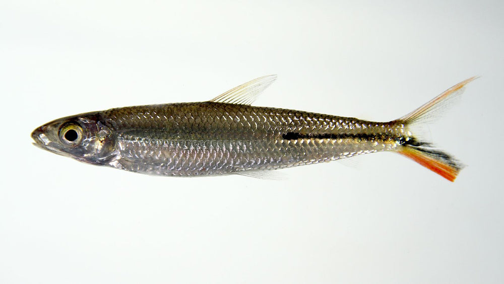 Hemiodopsis gracilis - fishbox