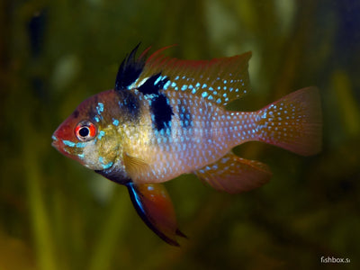 Mikrogeophagus ramirezi - fishbox
