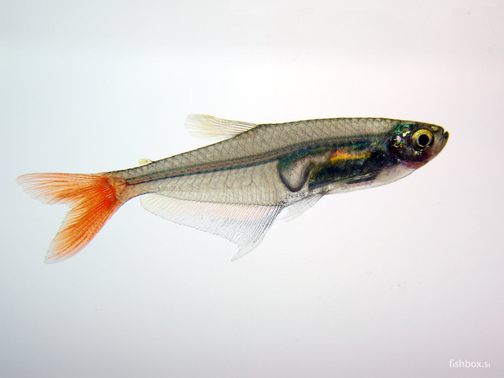 Prionobrama filigera (Cope, 1870) - fishbox