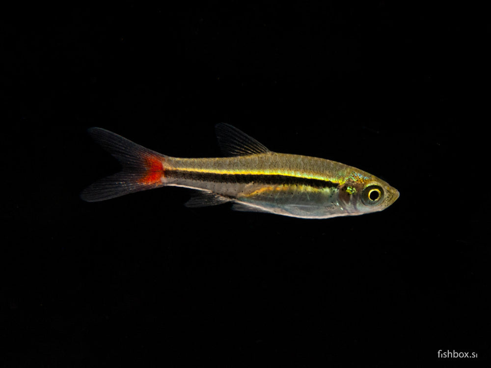 Rasbora borapetensis - fishbox