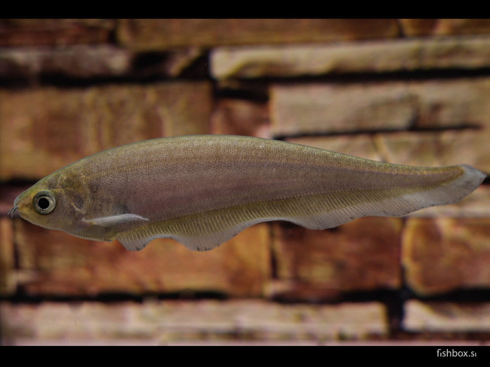 Xenomystus nigri (Guenther, 1868) - fishbox