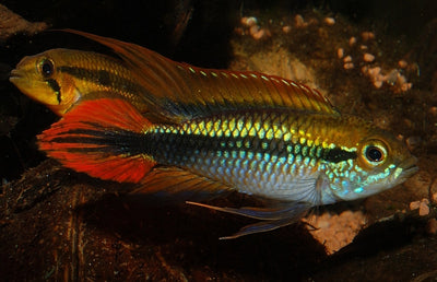 Apistogramma agassizii - fishbox