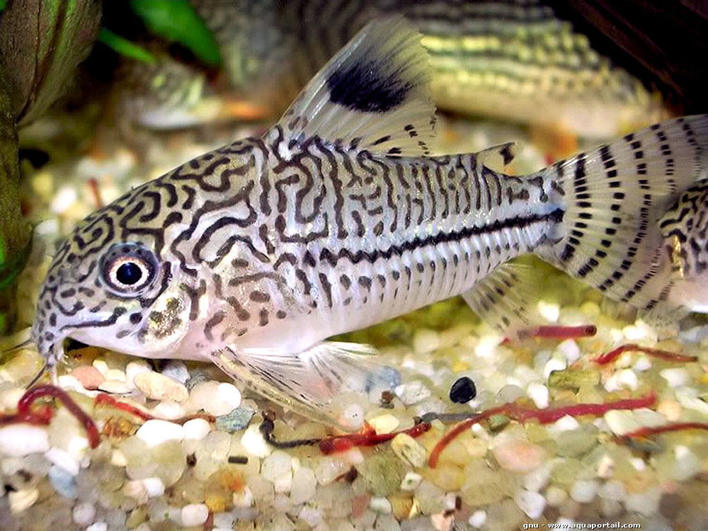 Corydoras julii (Steindachner, 1906) - fishbox