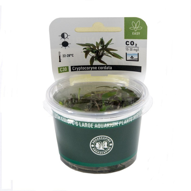 Cryptocoryne cordata In-Vitro - fishbox