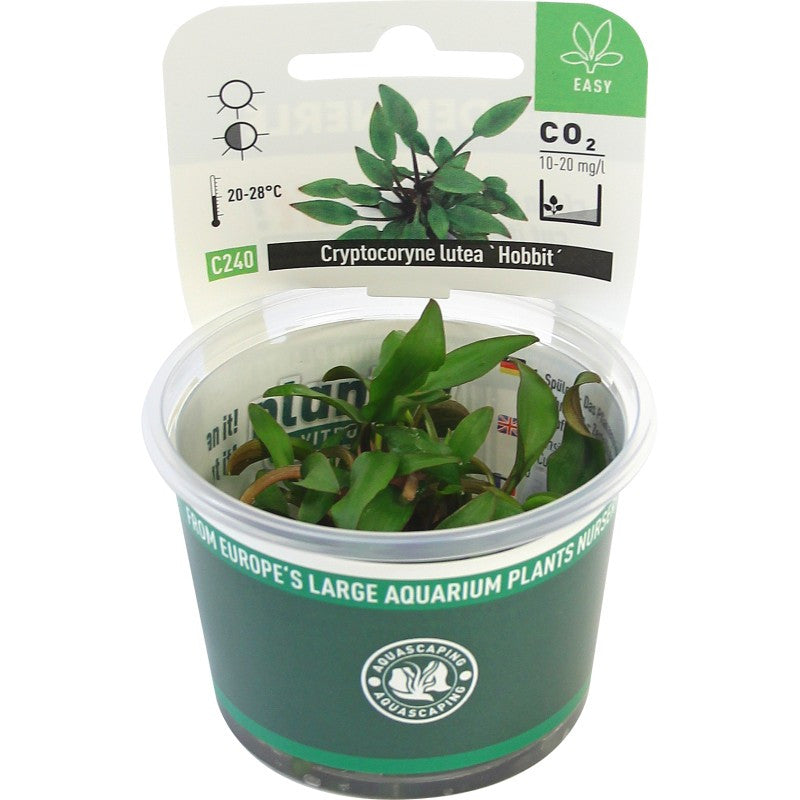 Cryptocoryne lutea ´Hobbit´ In-Vitro *NEW* - fishbox