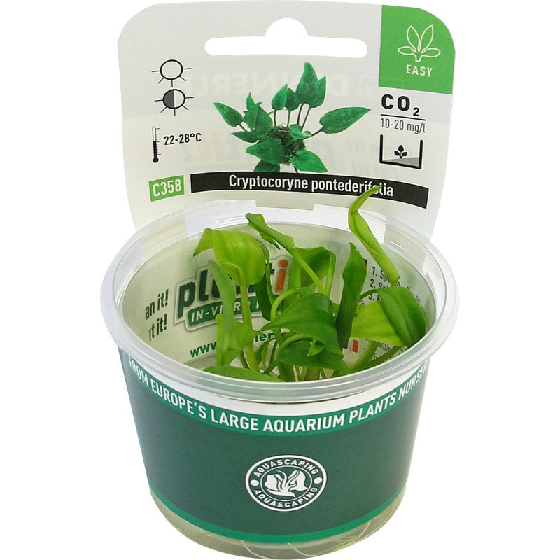 Cryptocoryne pontederifolia In-Vitro *NEW* - fishbox