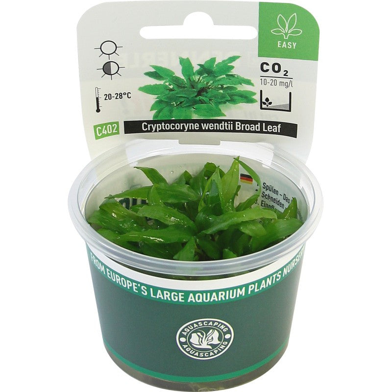 Cryptocoryne wendtii ´Broad Leaf´ In-Vitro *NEW* - fishbox