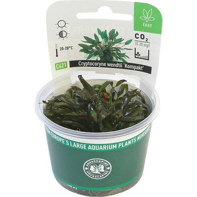 Cryptocoryne wendtii ´Kompakt´ In- Vitro *NEW* - fishbox