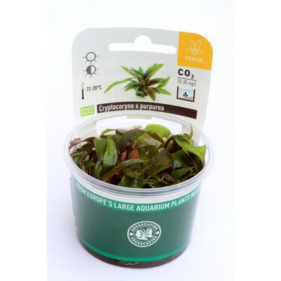 Cryptocoryne x purpurea In-Vitro - fishbox