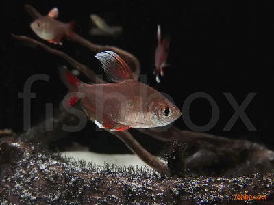 Hyphessobrycon ornatus ''White fin'' (Durbin, 1908) - fishbox