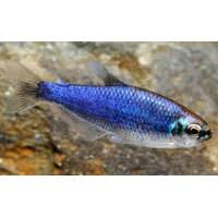 Inpaichthys kerri SUPER BLUE (Gery in Junk, 1977) - fishbox