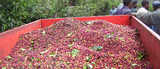 Papua New Guinea Kimel Estate X