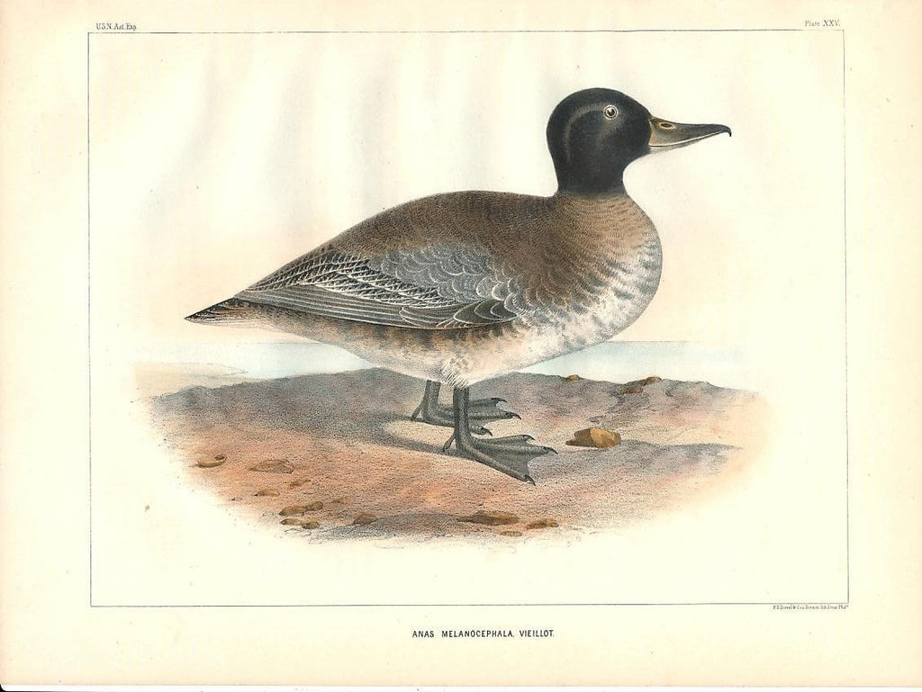 Black-headed duck Vieillot c.1855 fine antique color bird print