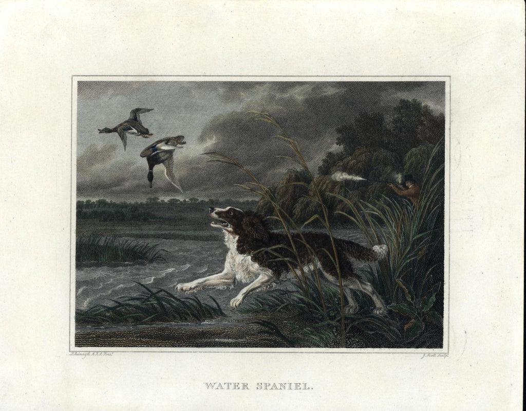 Water spaniel dog hunting ducks hunter rifle c.1810 beautiful old print