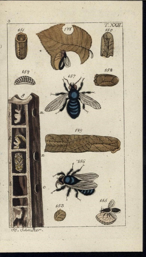 Black Flying Insect Eating Browning Leaf 1811 antique engraved hand color print