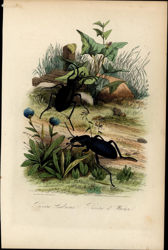 Insects bugs beetles in nature setting 1854 Natural History hand color print