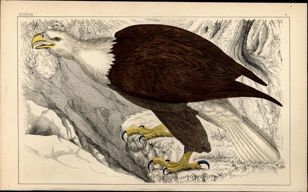 Bald Eagle White Headed Eagle U.S. symbol freedom patriotism 1852 old print