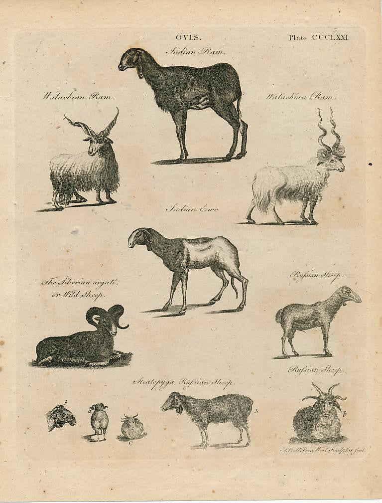 Ovis Russian sheep species fine 18th Century antique print
