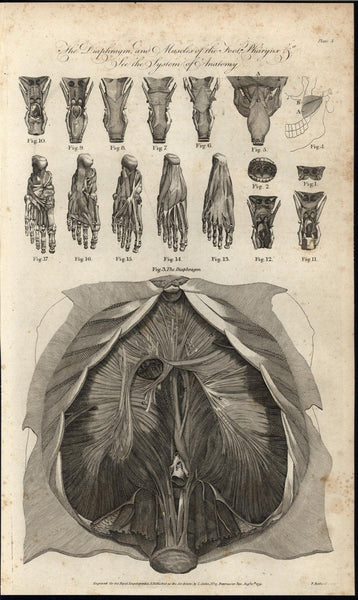 Muscles of the Foot Diaphragm & Pharynx Anatomy 1791 antique engraved print