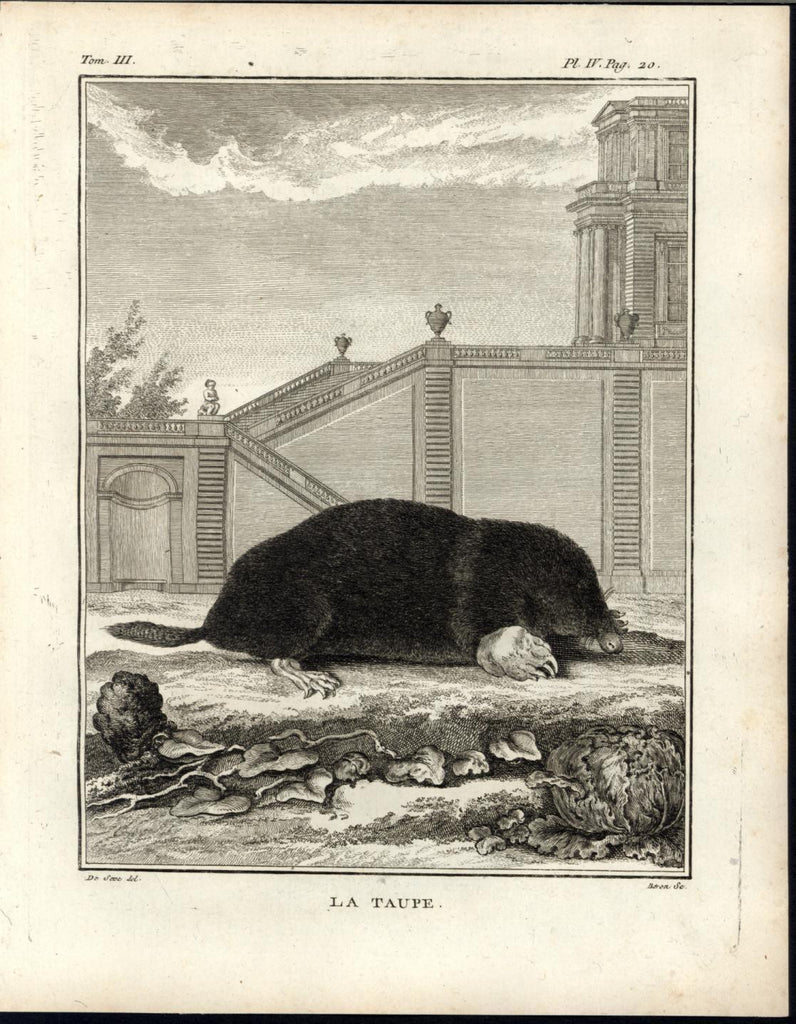 Mole Burrowing Mammal Grand Home Background 1776 great old engraved Animal print