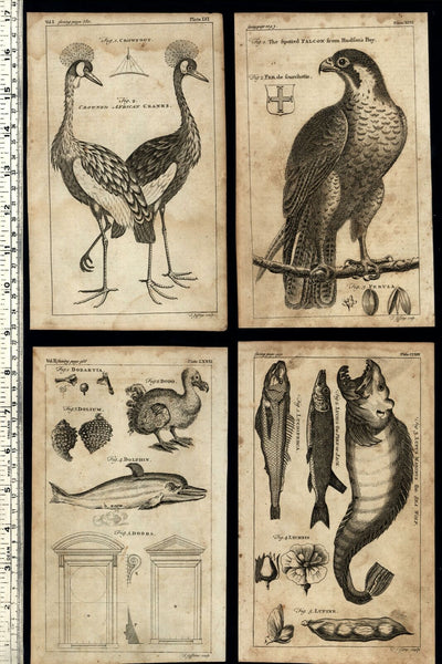 Natural History birds fish Falcon 1754 Thomas Jefferys engraved print lot x 4