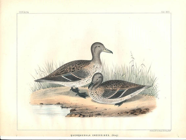 Grey teal duck c.1855 fine antique color bird print