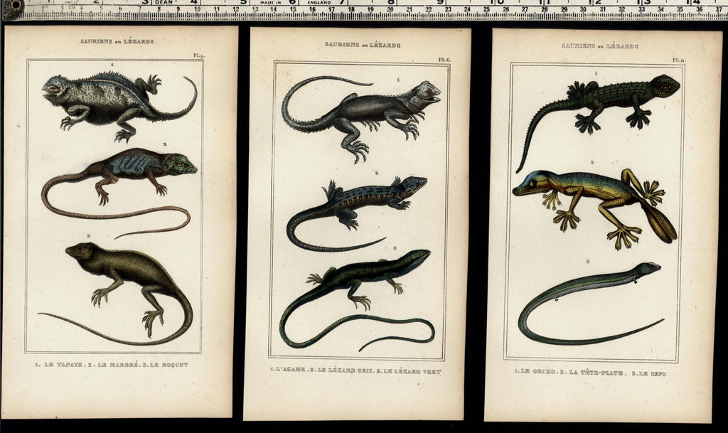 Lizards flying dragon c.1830's collection old prints Natural History Lot of 6
