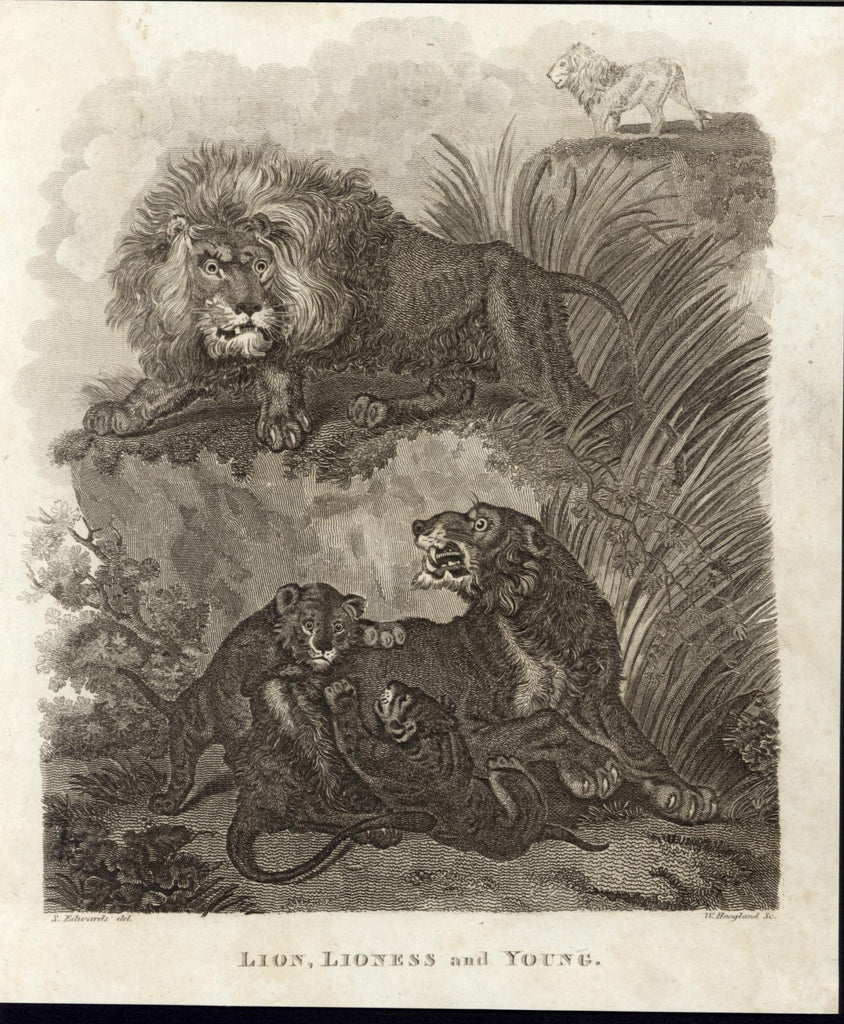 Lion Lioness Cubs Ferocious Beasts King of Jungle c.1810 antique engraved print