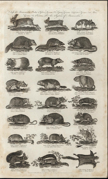 Flying Squirrel Musk Rat Dormouse Lapland Marmot c.1780 antique engraved print