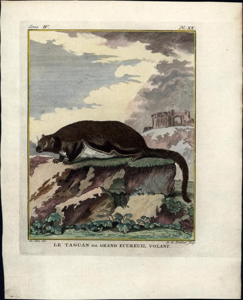 Flying Squirrel wonderful 1770's Animal engraved antique print hand color