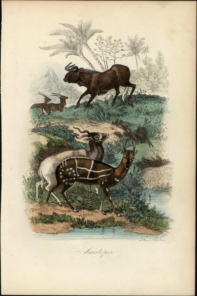 Antelope Wildebeest grazing Africa 1854 Chardon antique color animal print