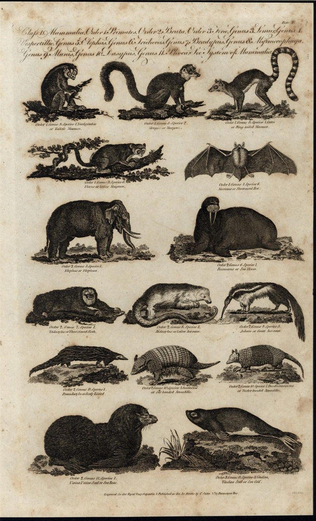 Armadillo Anteater Elephant Walrus Short Eared Bat c.1798 antique engraved print