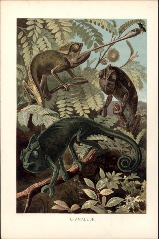 Chameleons catching bee long tongue 1892 lovely chromo color print