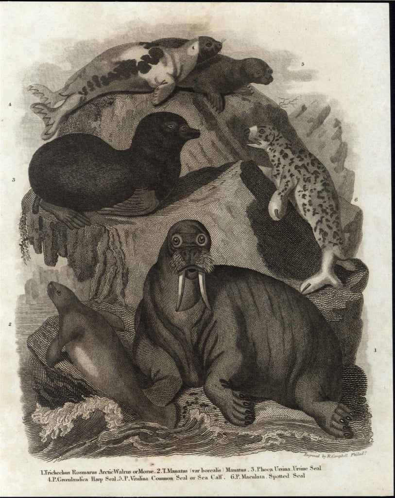 Arctic Walrus Spotted Seal Manatee Sea Calf c.1810 antique engraved print