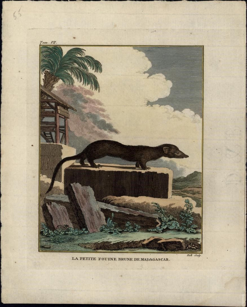 Little Brown Weasel wonderful 1770's Animal engraved antique print hand color