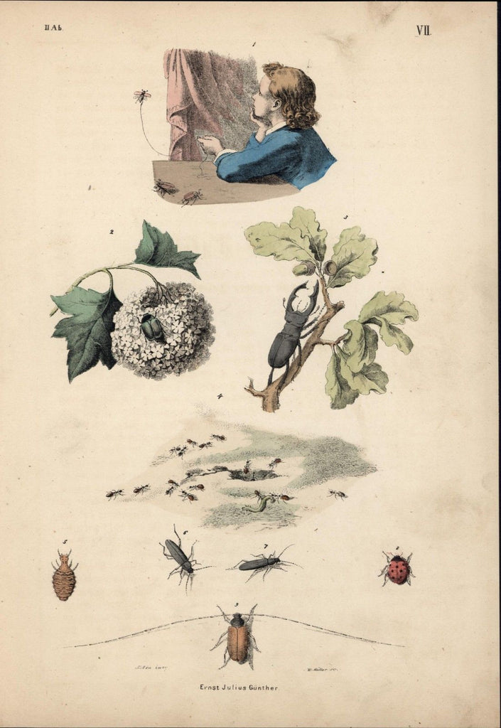 Entomology insects beetles ladybugs biology 1850s old antique color print